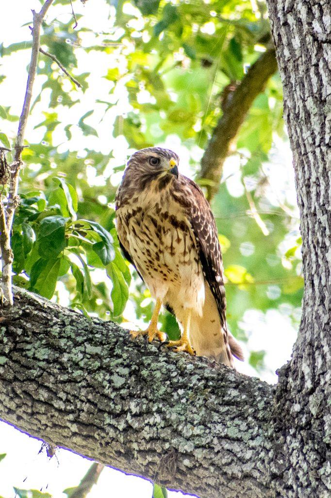 Red-shouldered hawk (immature), Yorktown, Texas
