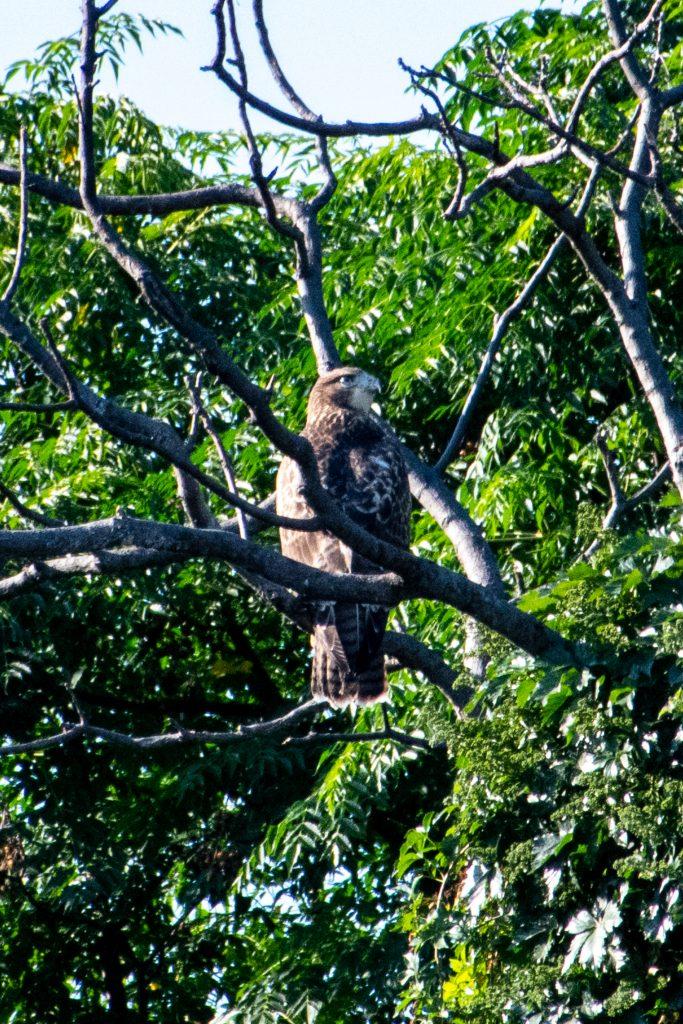 Red-tailed hawk, Trinity Trails, Fort Worth, Texas