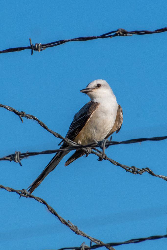 Scissor-tailed flycatcher, Trinity Trails, Fort Worth, Texas