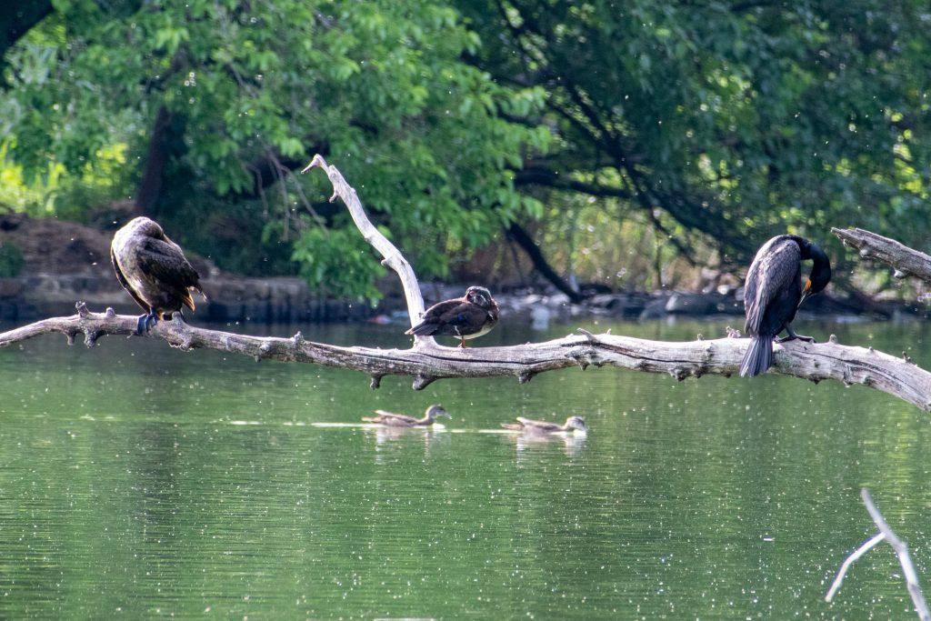 Two cormorants and three wood ducks, Prospect Park