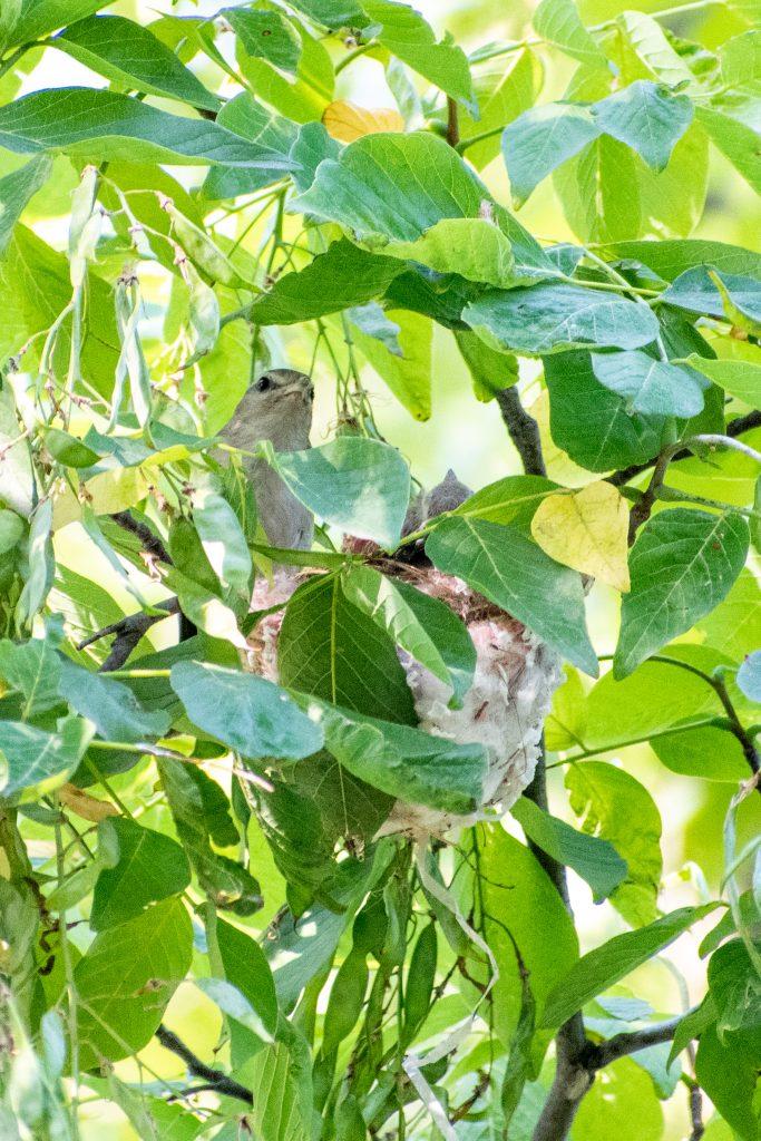 Warbling vireo and nestlings in Kentucky yellowwood, Prospect Park