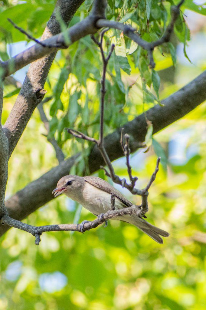 Warbling vireo, Prospect Park