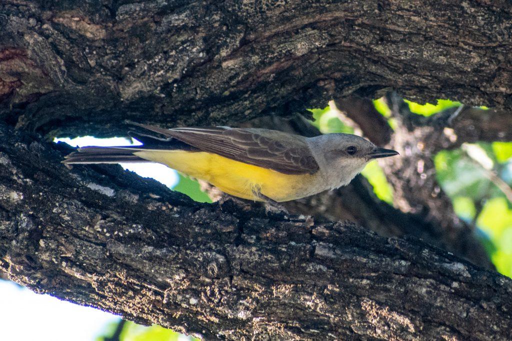 Western kingbird, Trinity Park, Fort Worth, Texas