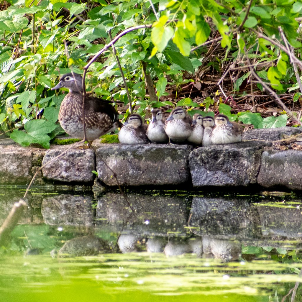 Wood ducks, hen and ducklings, Prospect Park