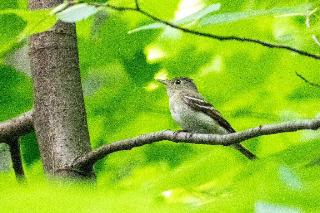 Acadian flycatcher, Prospect Park