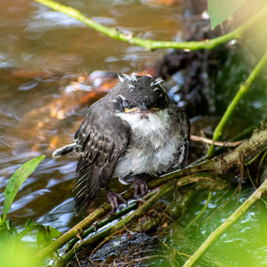 Eastern kingbird (fledgling), Prospect Park