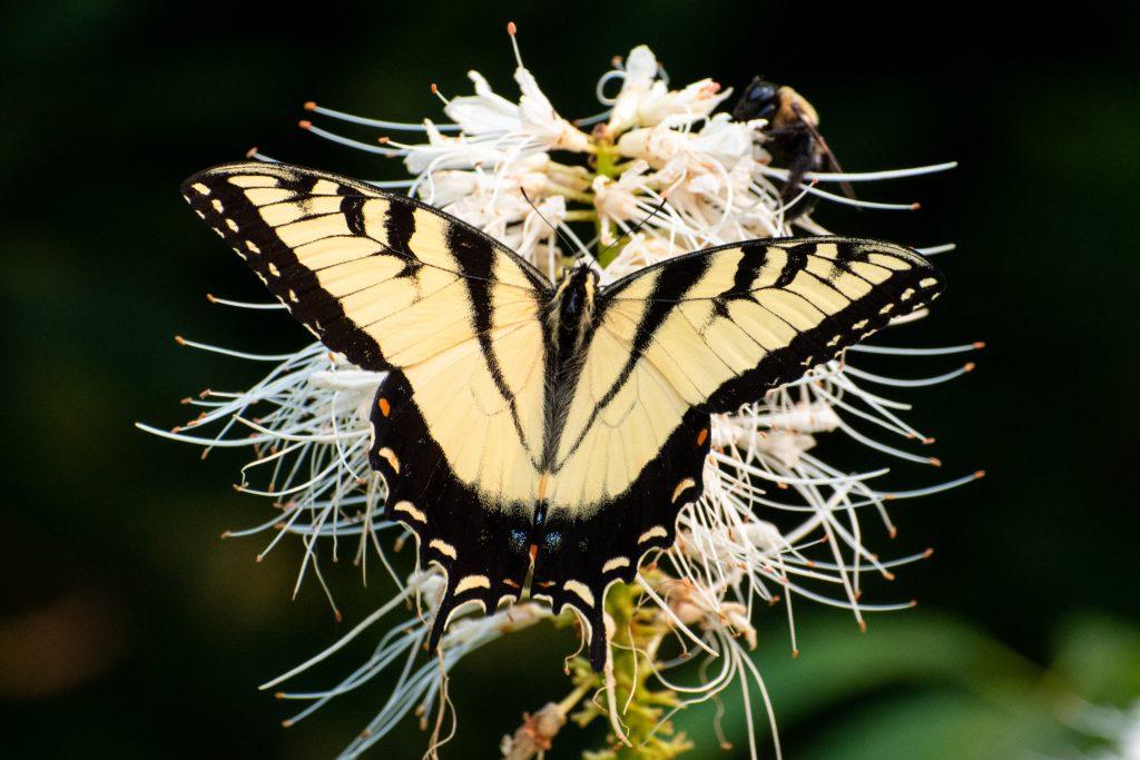 Eastern tiger swallowtail on California buckeye, Prospect Park