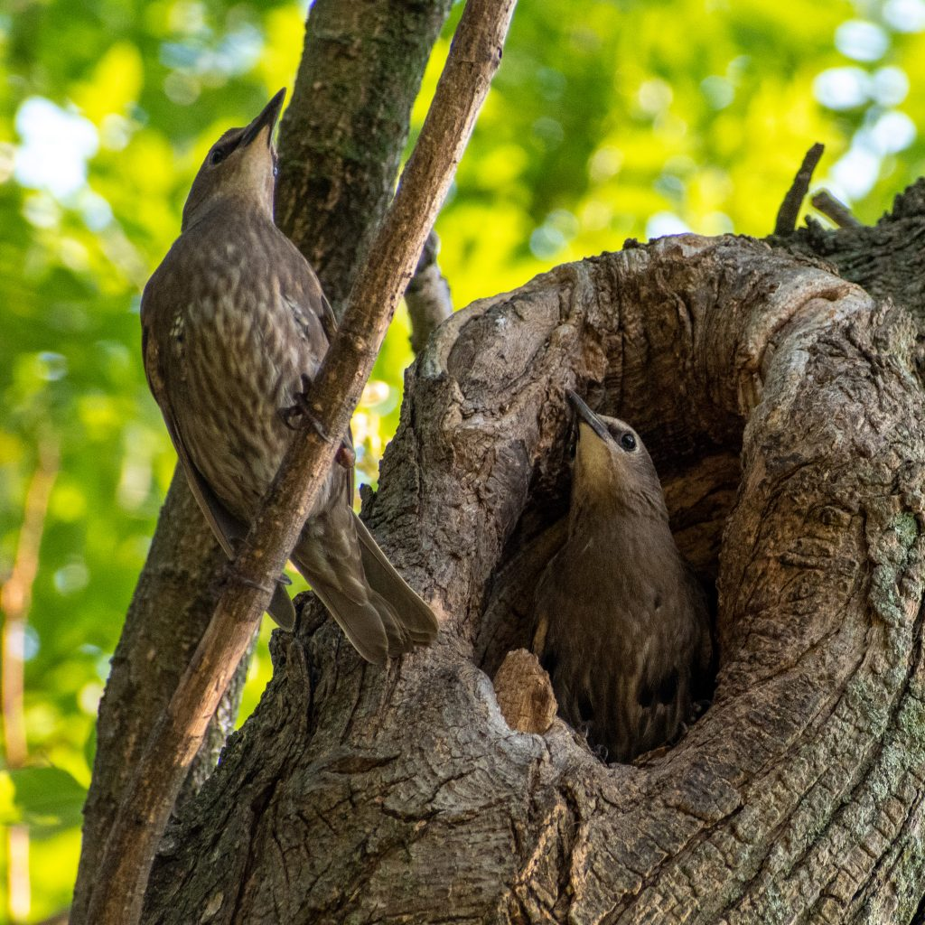 European starlings, Prospect Park