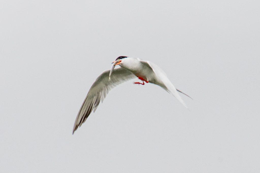 Forster's tern, Marine Park Salt Marsh
