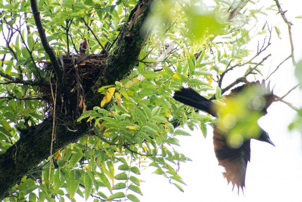 Grackle and nestling, Prospect Park