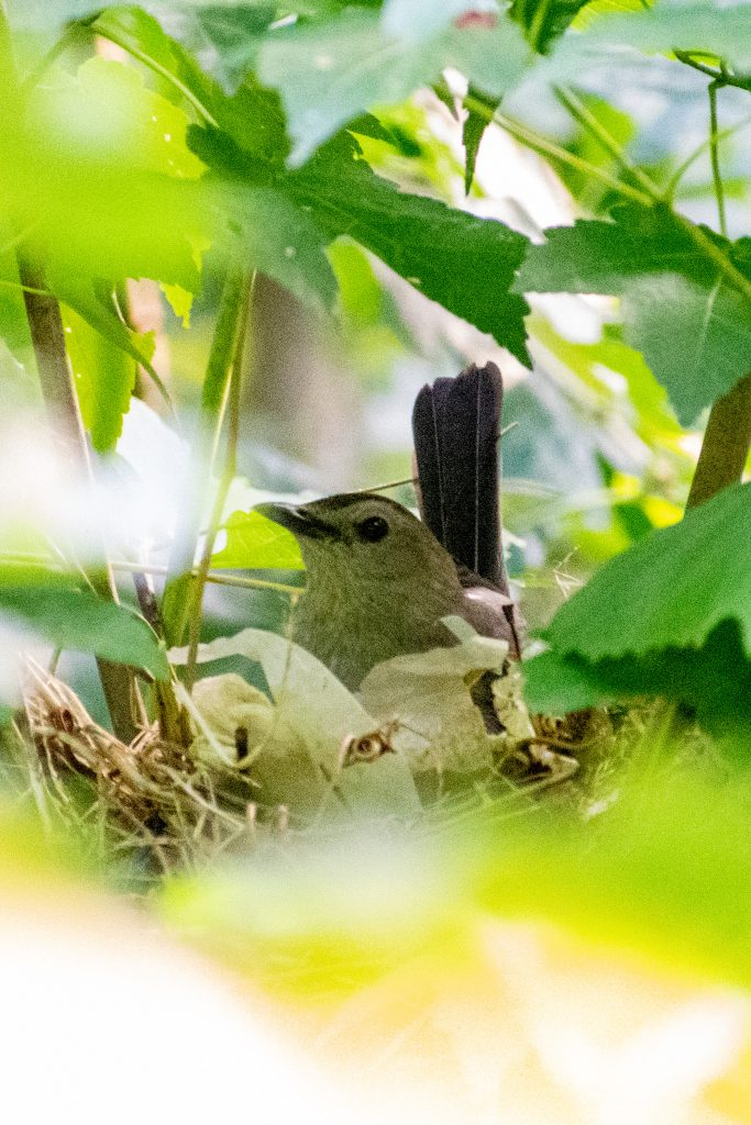 Gray catbird, building nest, Prospect Park