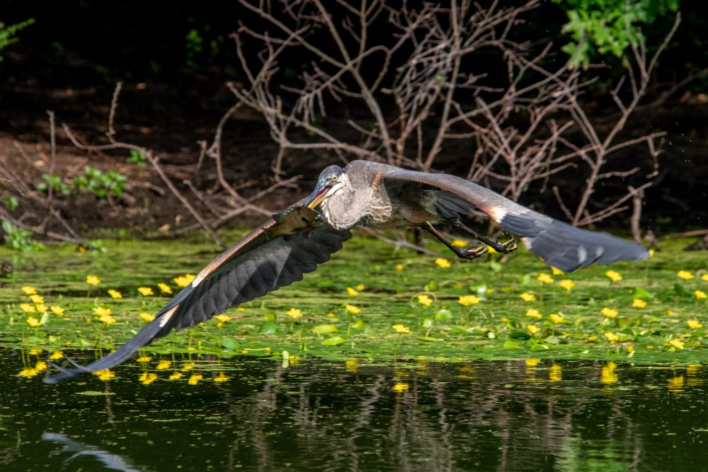 Great blue heron with speared fish, Prospect Park