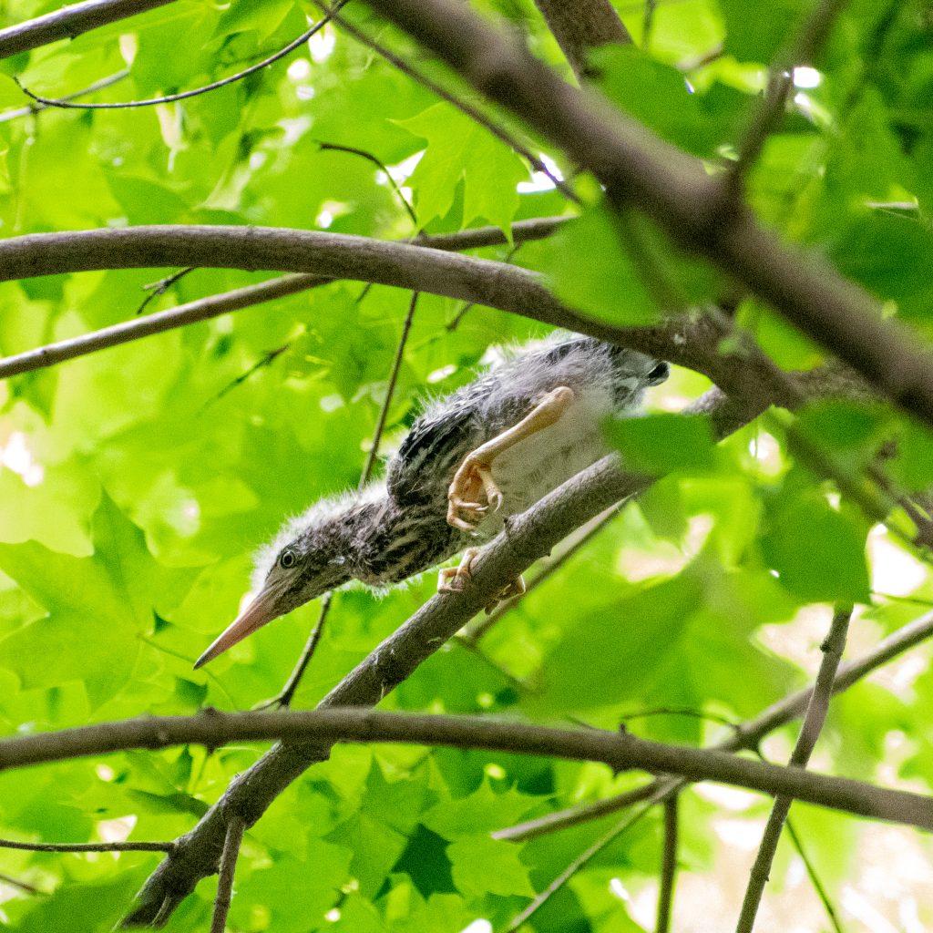 Green heron (fledgling), Prospect Park