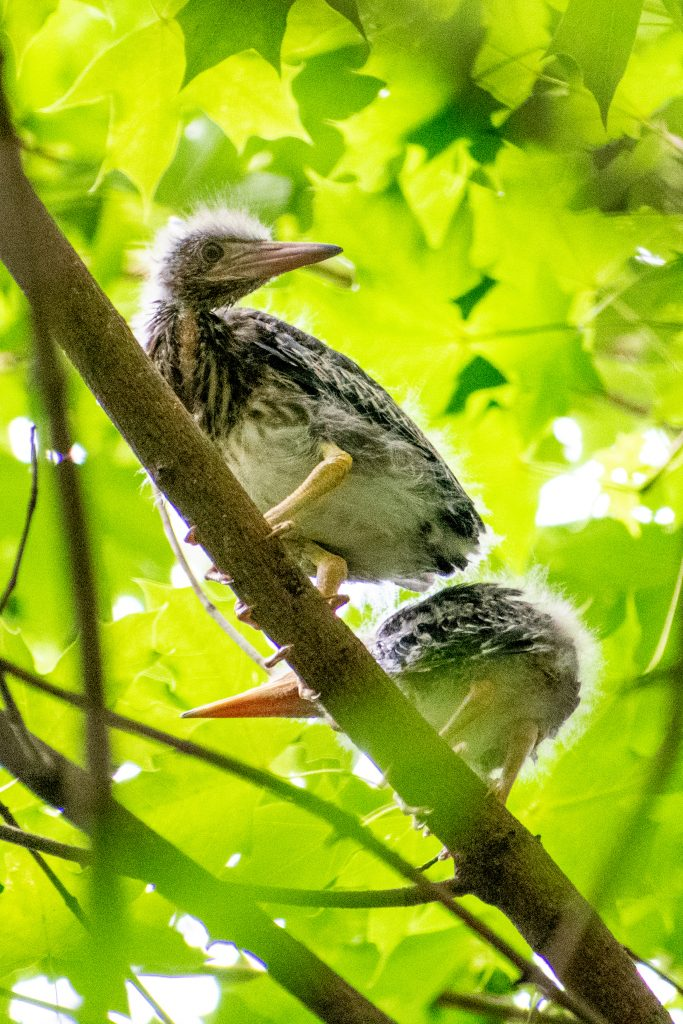 Green heron (fledglings), Prospect Park