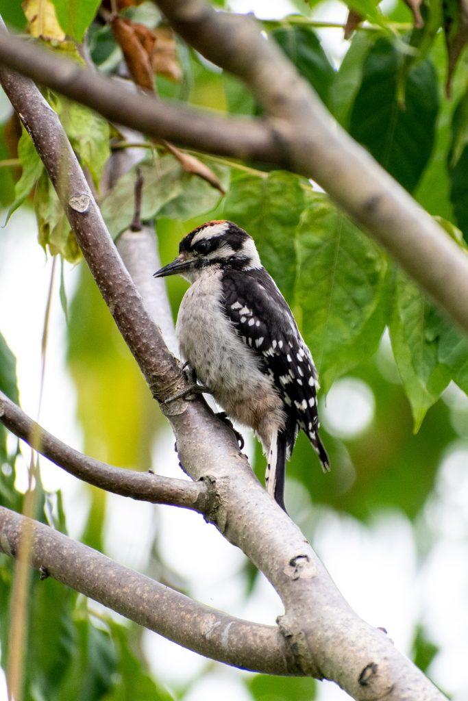 Hairy woodpecker (juvenile male), Marine Park Salt Marsh