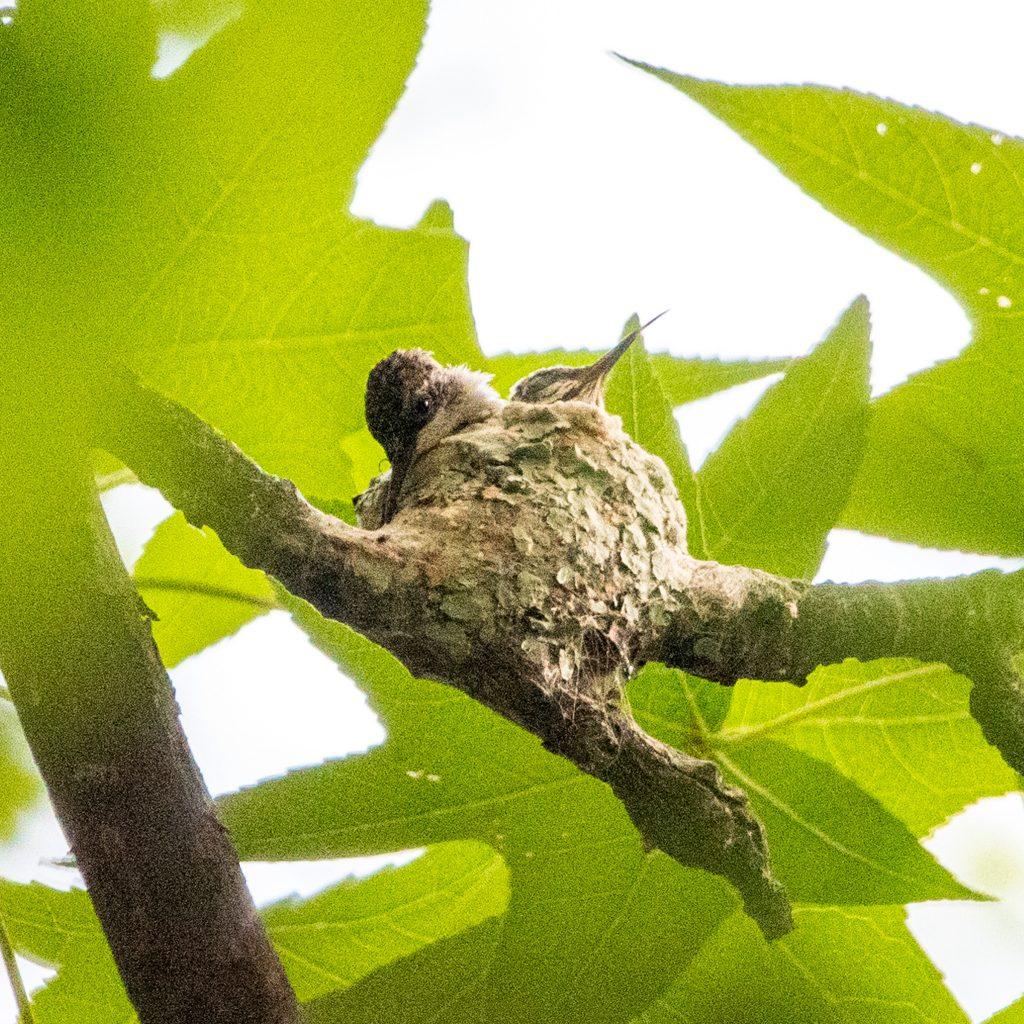 Ruby-throated hummingbird nest, Prospect Park