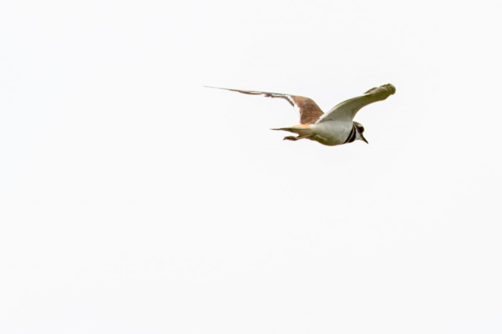 Killdeer, Marine Park Salt Marsh