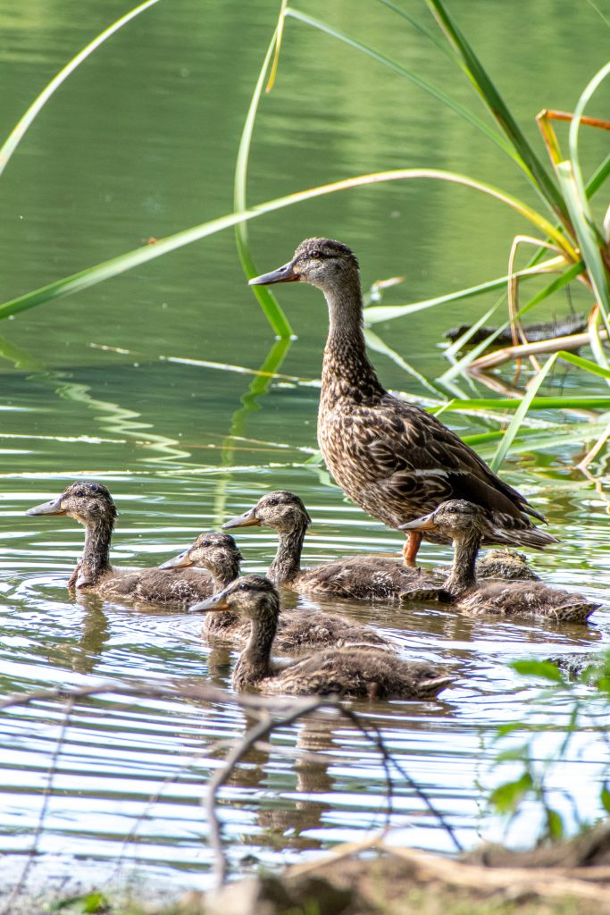 Mallard and five juveniles, Prospect Park