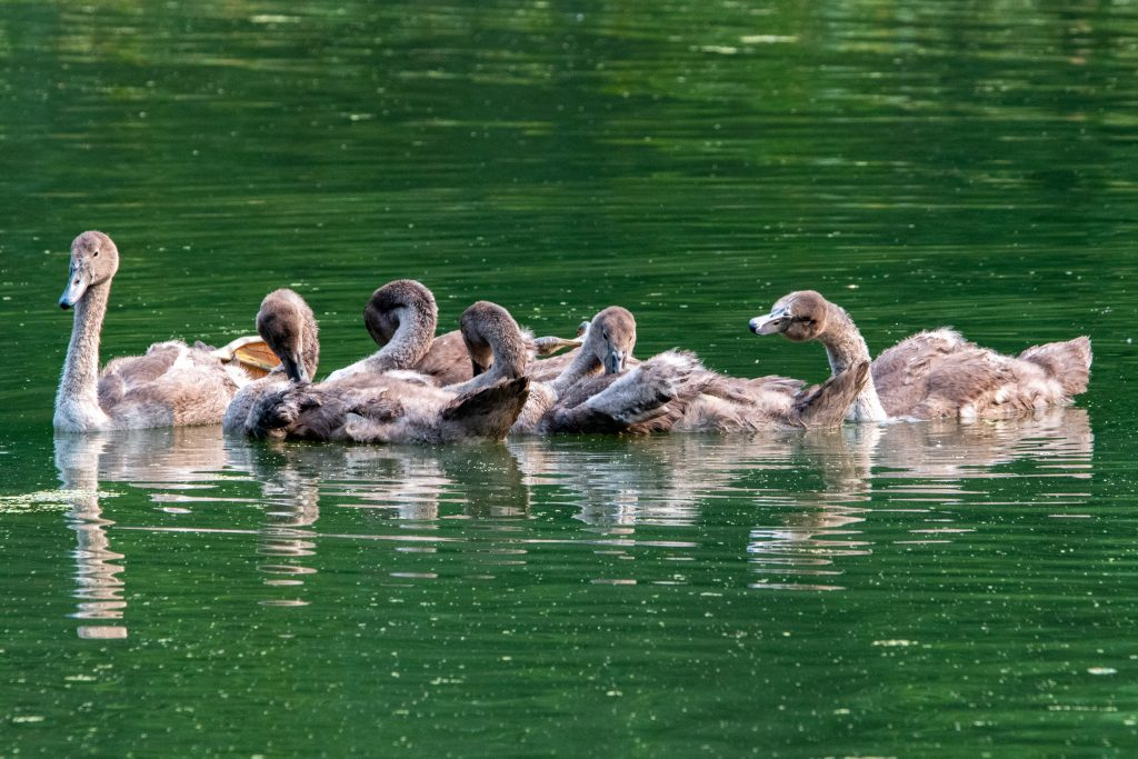 Mute swan cygnets, Prospect Park