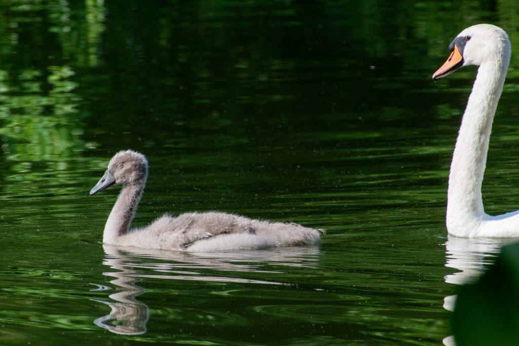 Mute swan cygnet, squinting in sun, Prospect Park