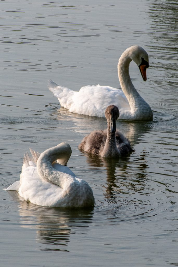 Mute swans and cygnet, Prospect Park