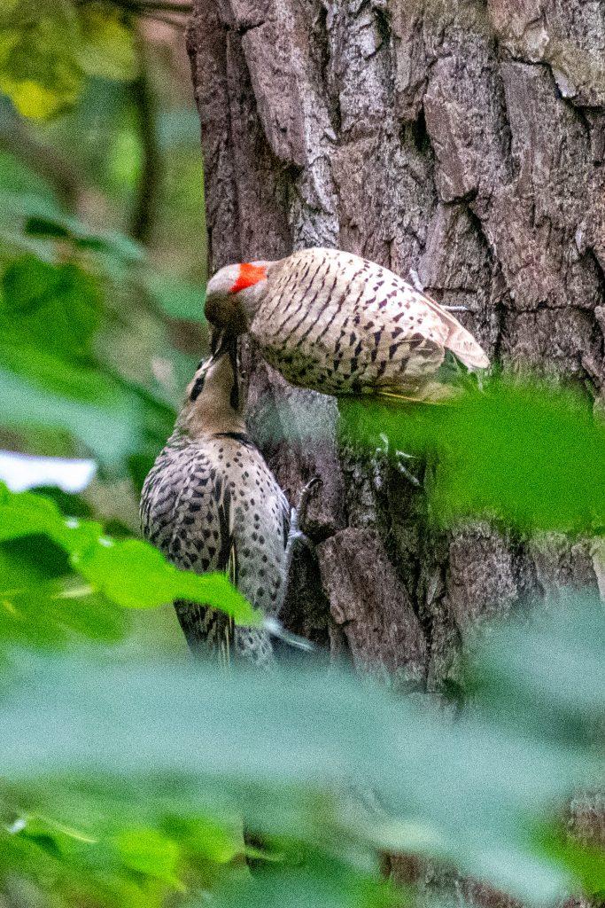 Northern flicker (hen and fledgling), Prospect Park