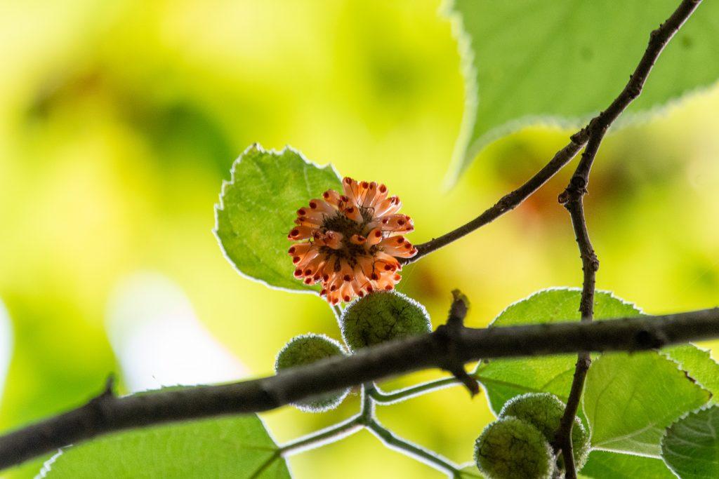 Paper-mulberry, Prospect Park