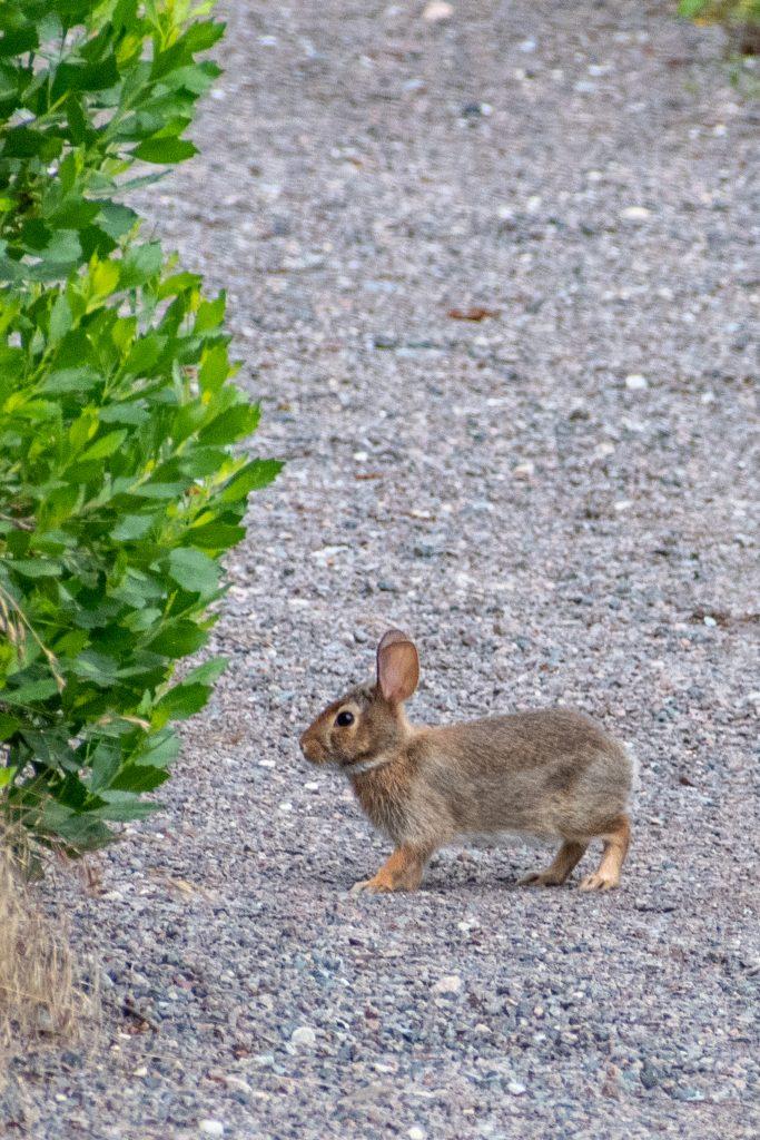 Rabbit, Marine Park Salt Marsh