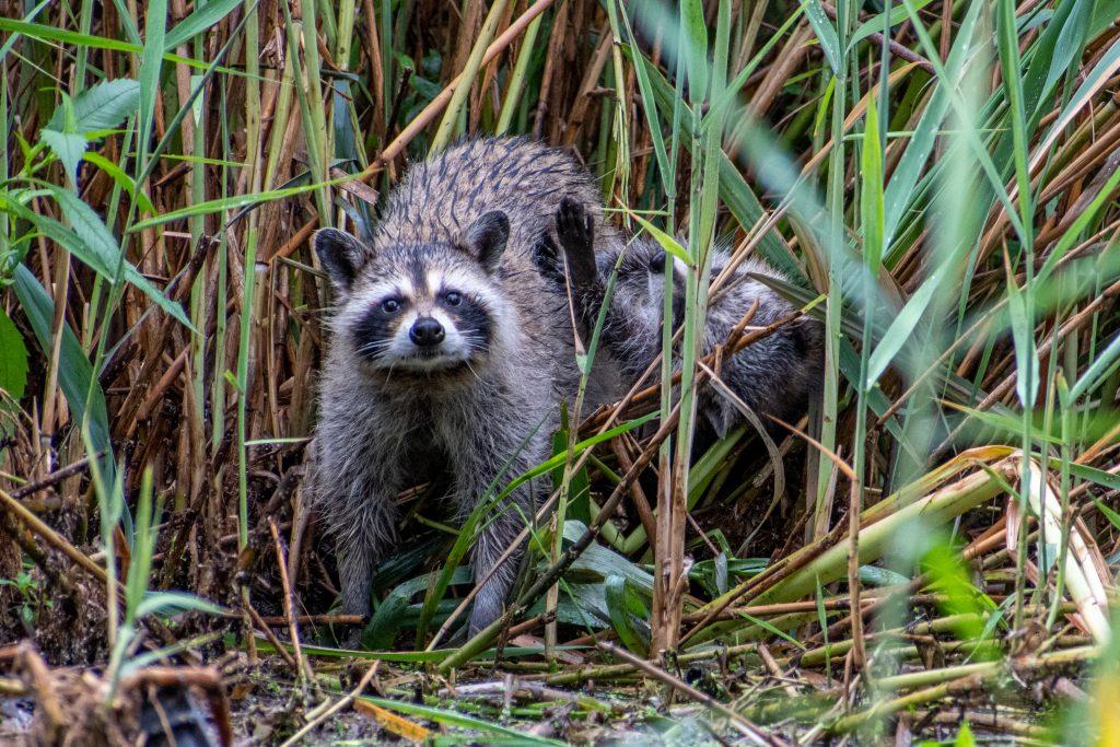 Raccoon, Prospect Park