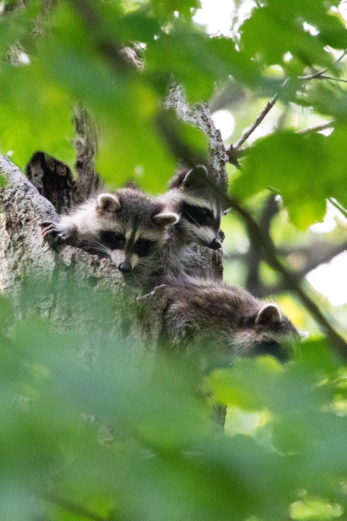 Raccoons, Prospect Park