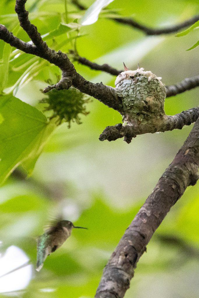 Ruby-throated hummingbird and nest, Prospect Park