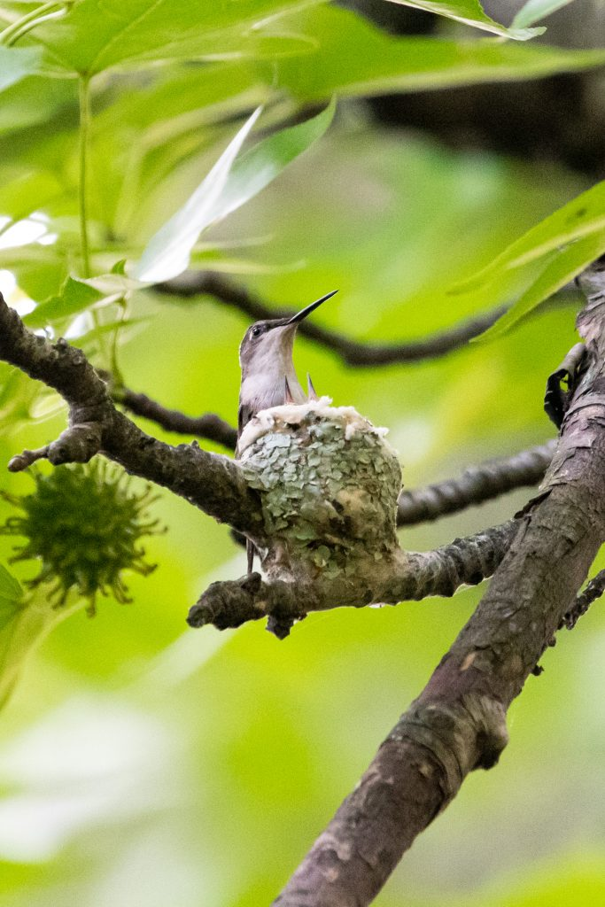 Ruby-throated hummingbird and nestlings, Prospect Park