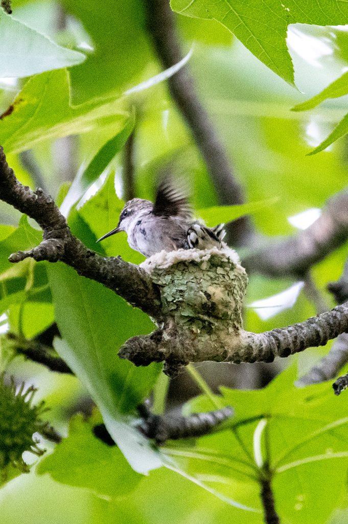 Ruby-throated hummingbird nestlings, Prospect Park