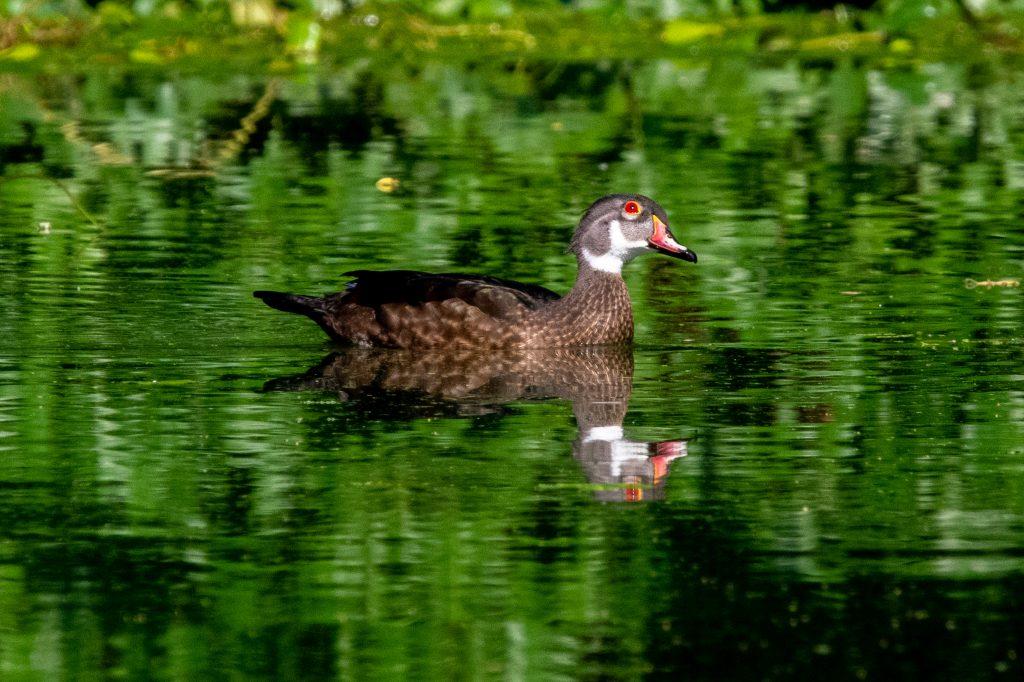 Wood duck, Prospect Park