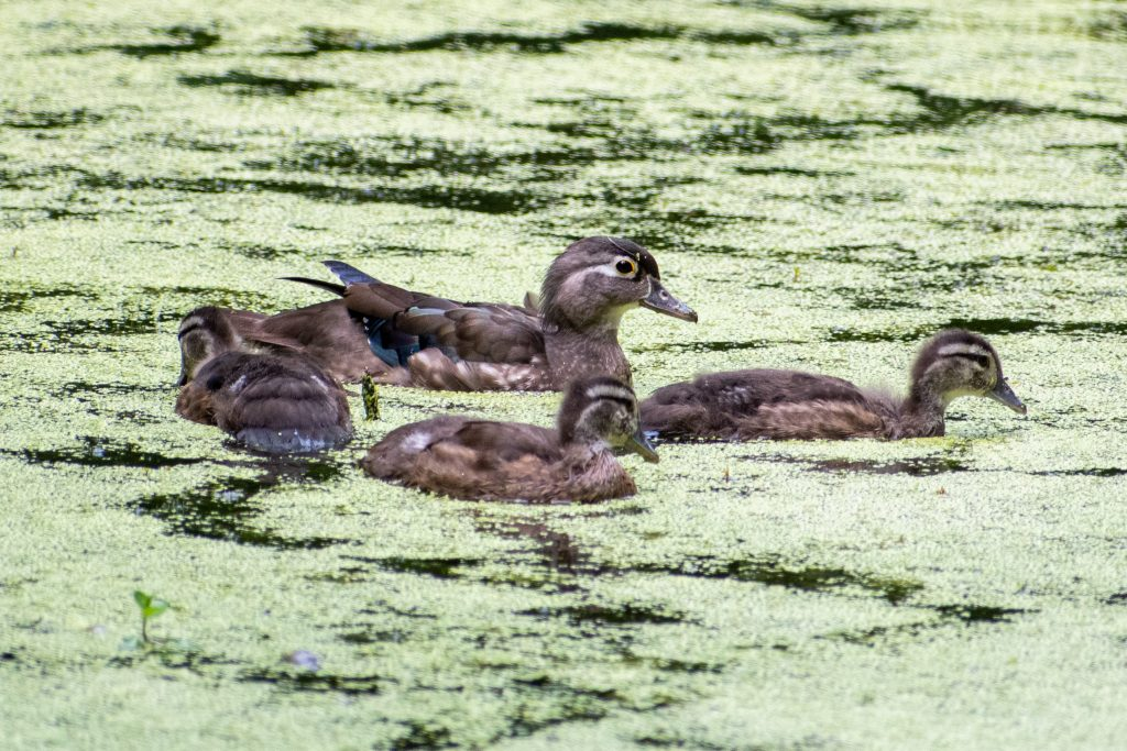 Wood duck and three ducklings, Prospect Park