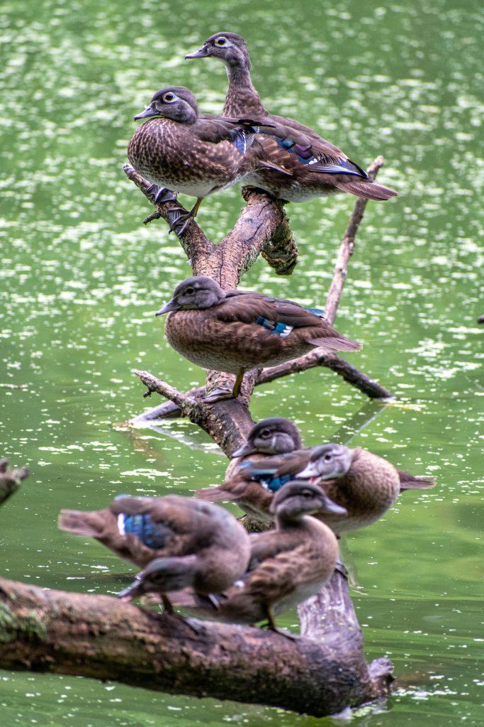Wood ducks in a row, Prospect Park