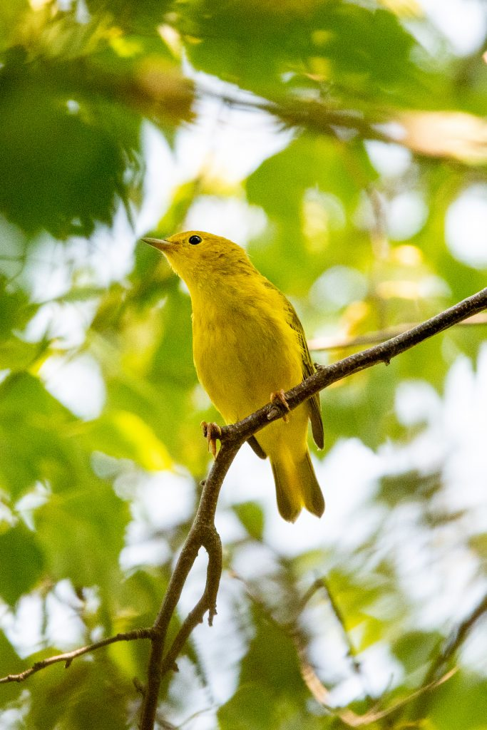 Yellow warbler (female), Jamaica Bay Wildlife Refuge