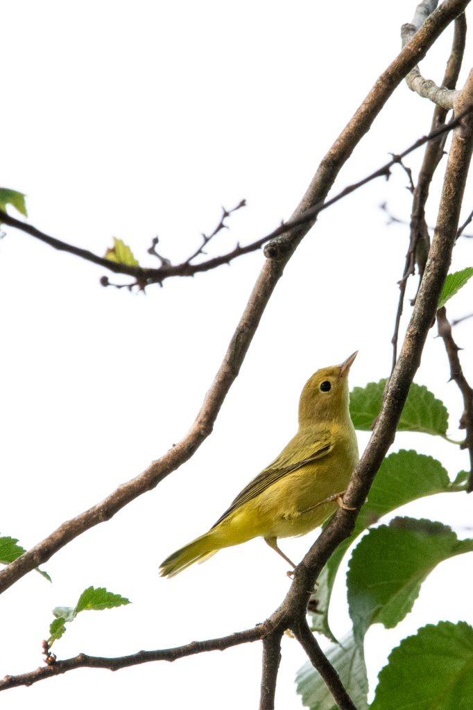 Yellow warbler, Prospect Park