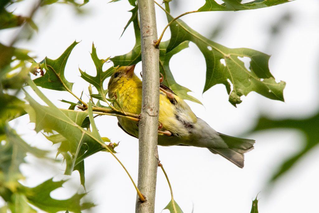 American goldfinch, Prospect Park