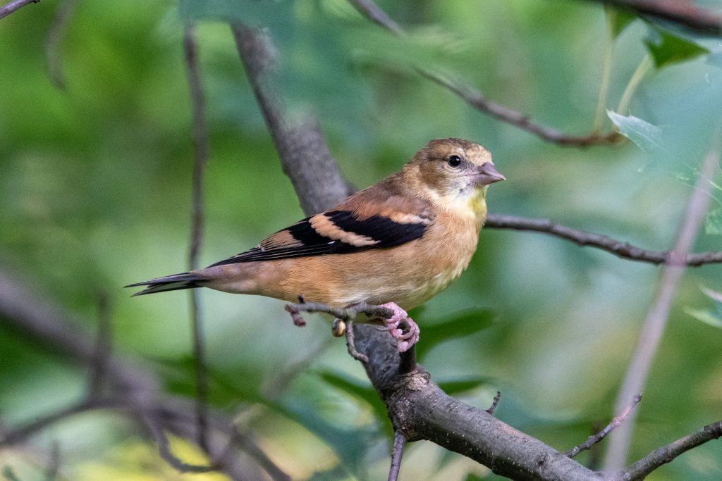 American goldfinch (female), Prospect Park