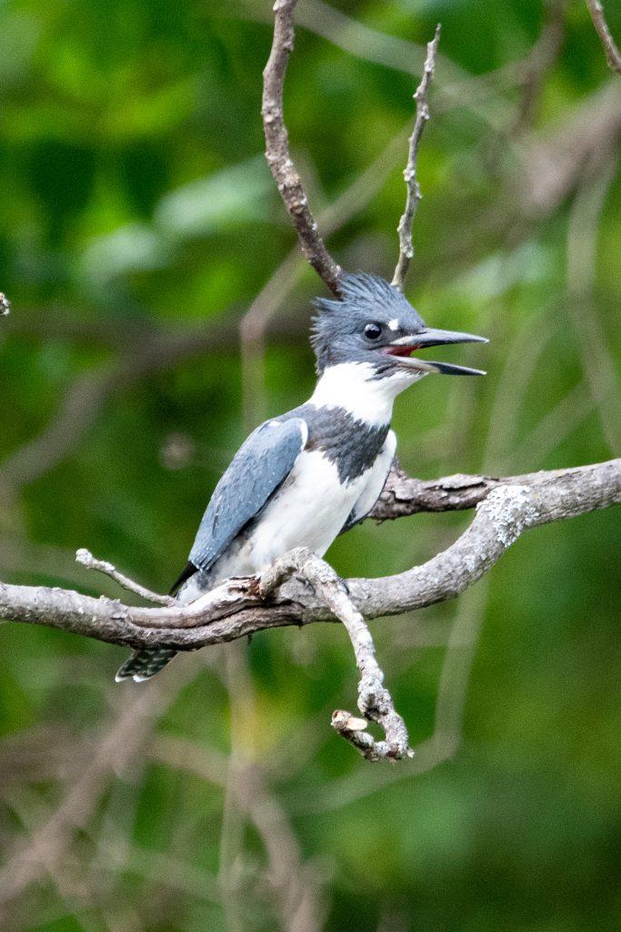 Belted kingfisher (male), Halcottsville, NY