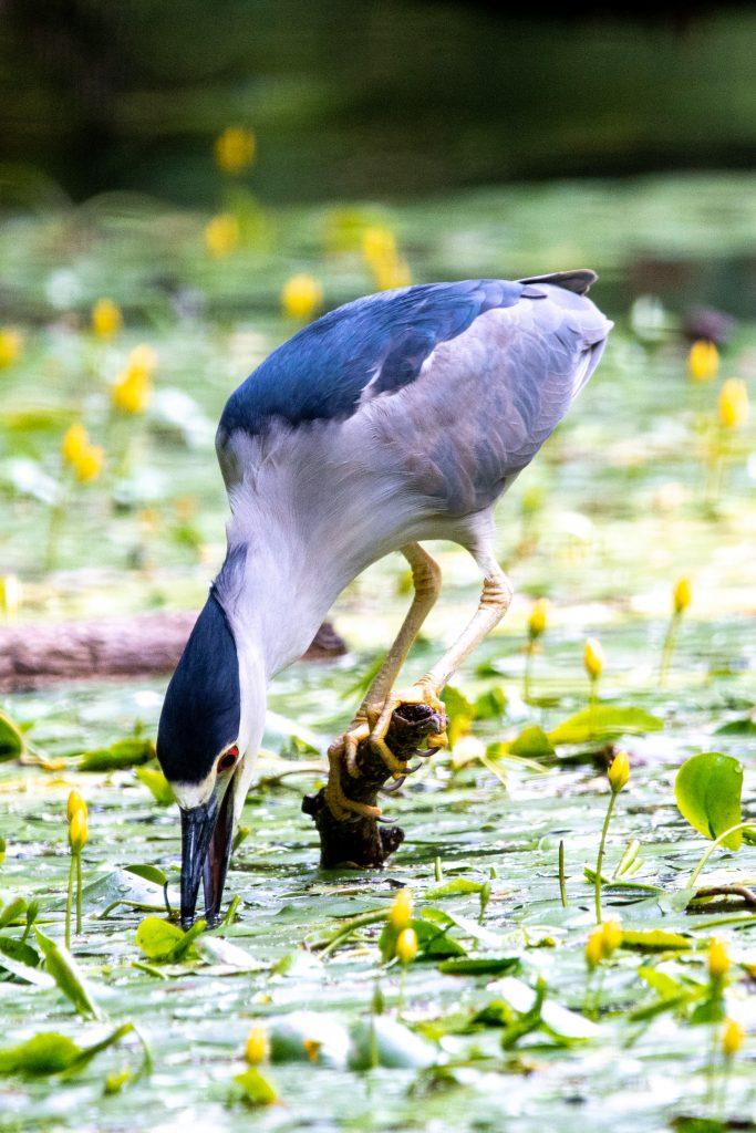 Black-crowned night heron, bill vibrating, Prospect Park