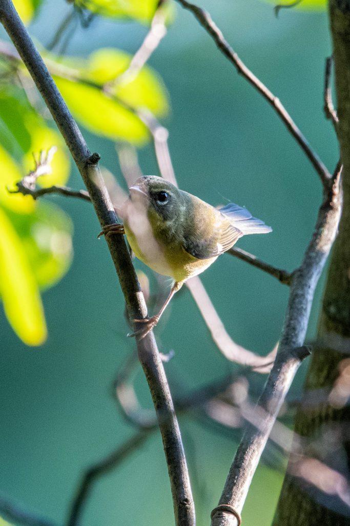 Black-throated blue warbler (female), Prospect Park