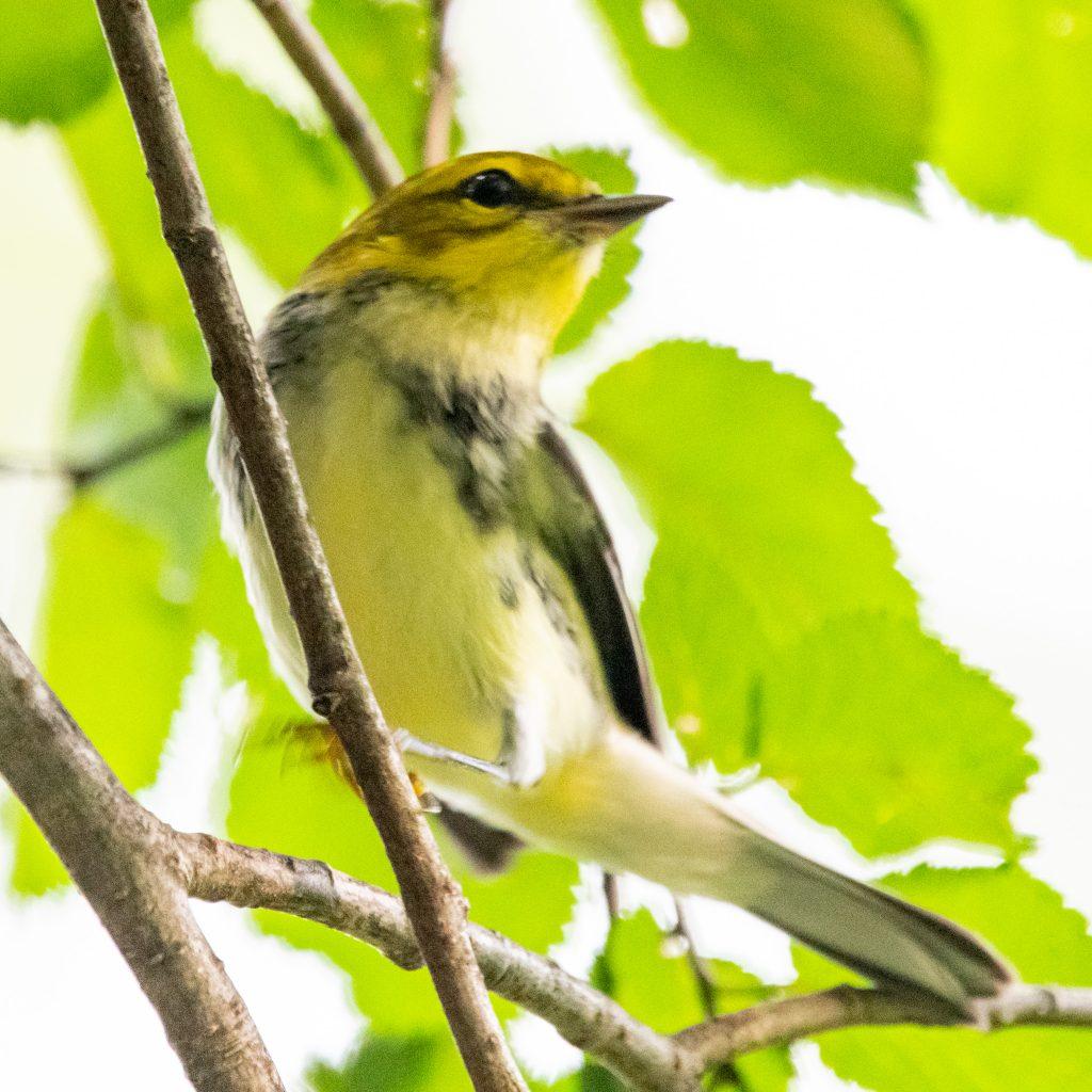 Black-throated green warbler (immature), Prospect Park