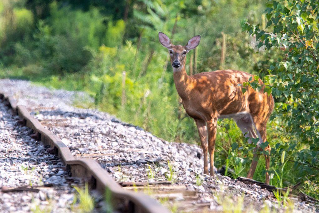 Deer, Halcottsville, NY
