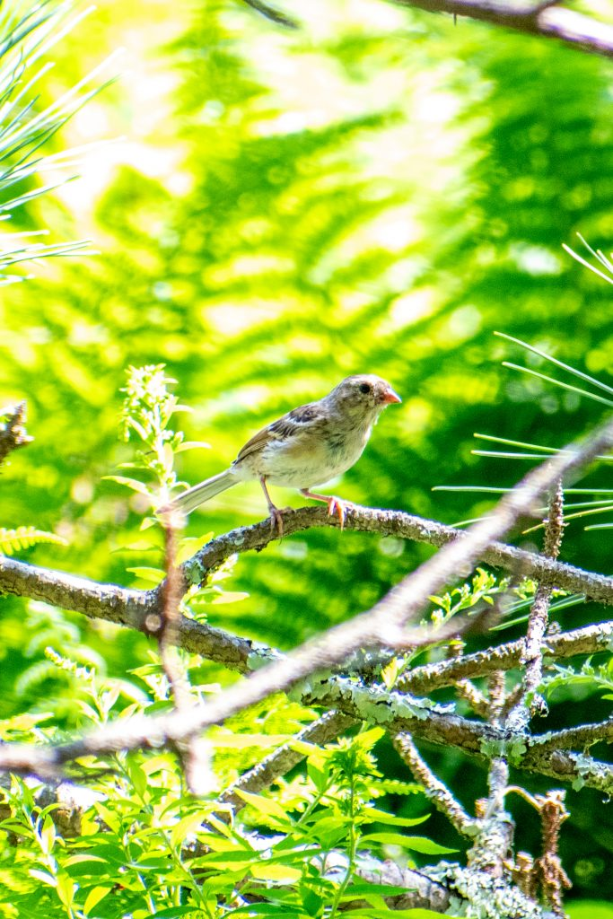 Field sparrow (immature), Andes Rail Trail