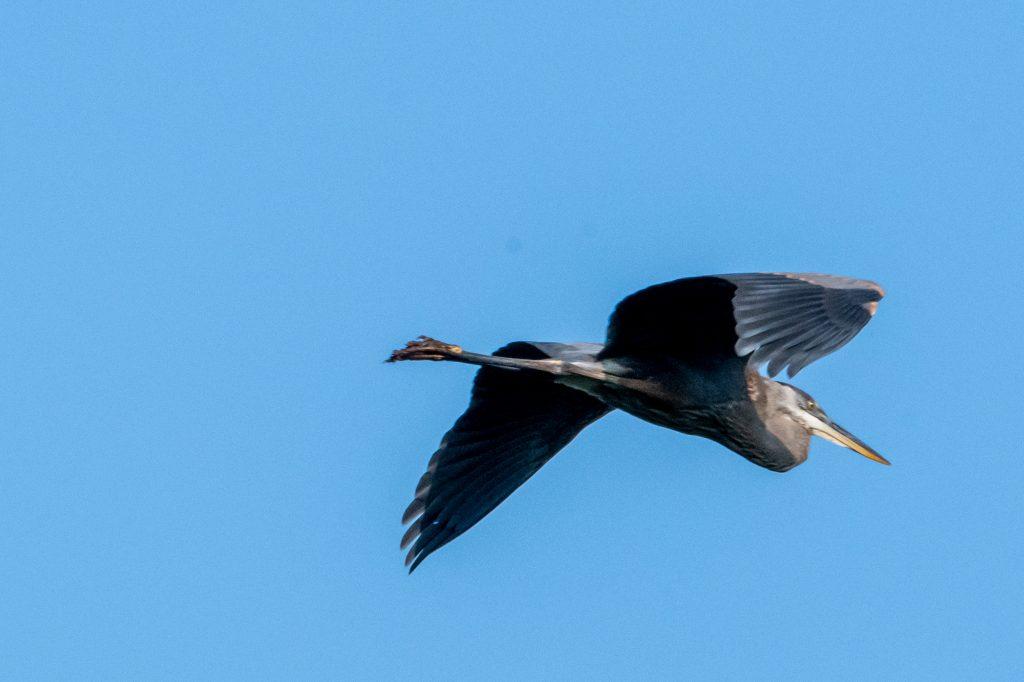 Great blue heron, Cupcake Cottage, Roxbury, NY
