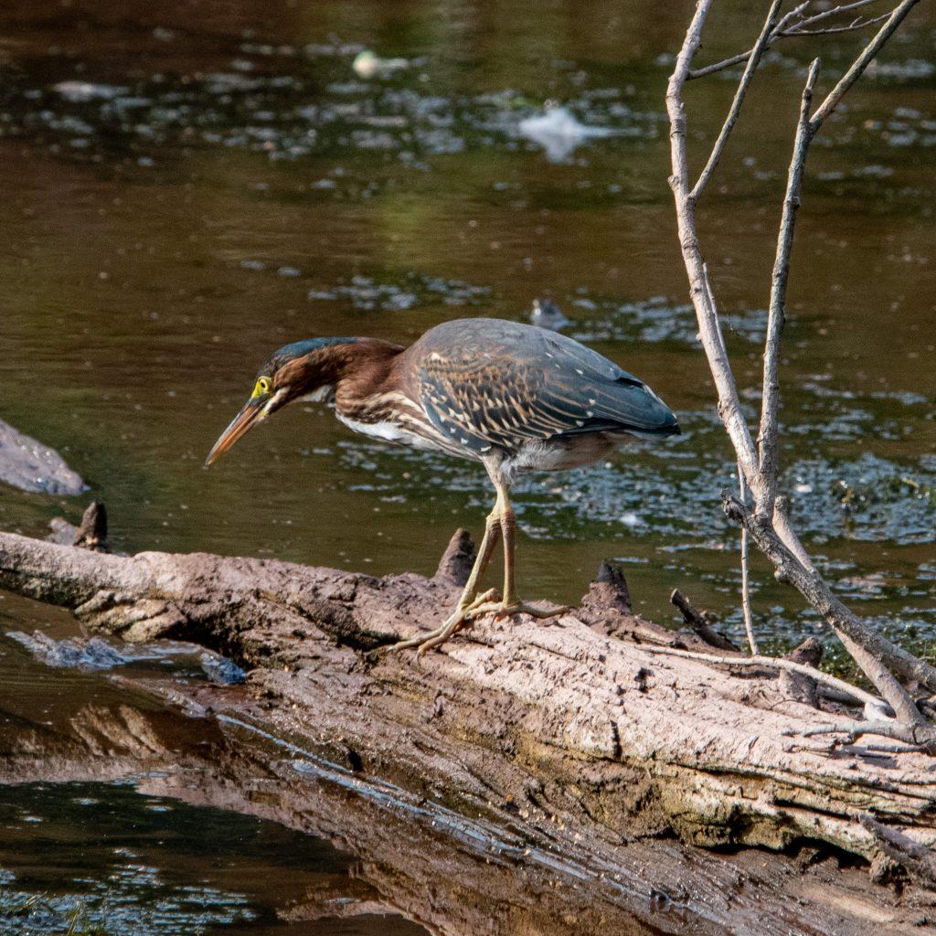 Green heron, Wawaka Lake, Halcottsville, NY
