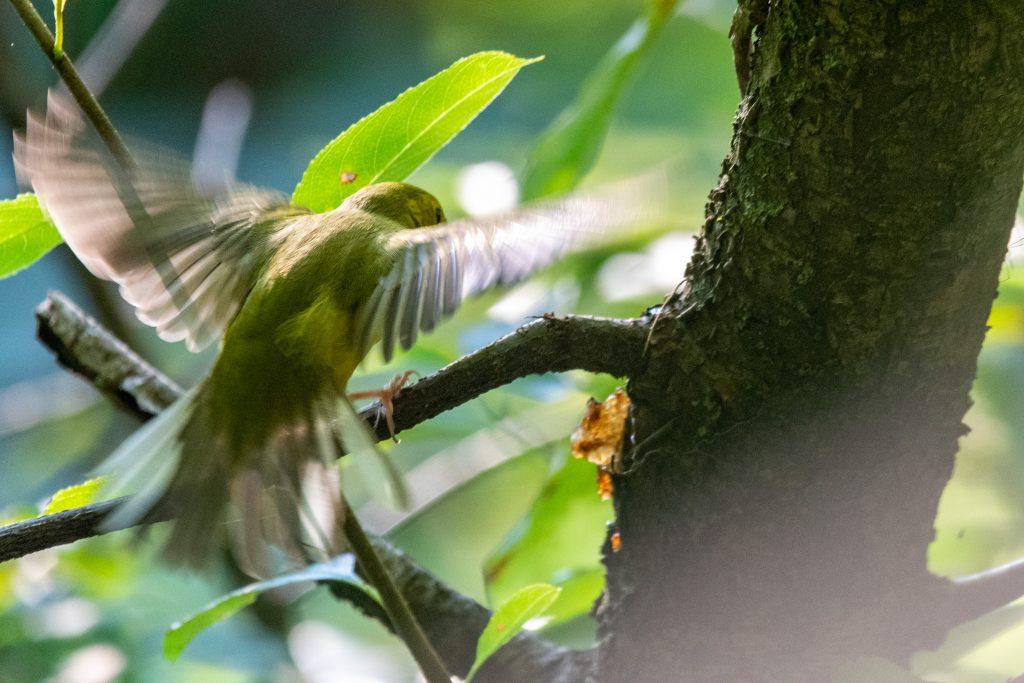 Hooded warbler (female), Prospect Park