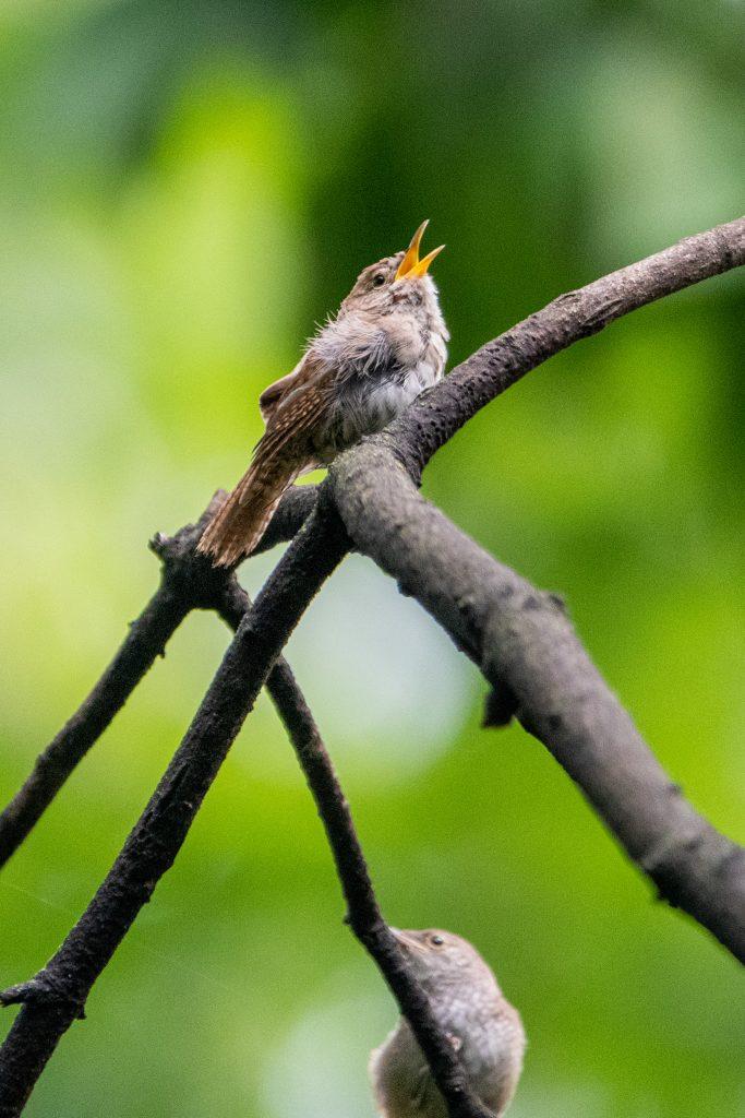 House wrens, Prospect Park